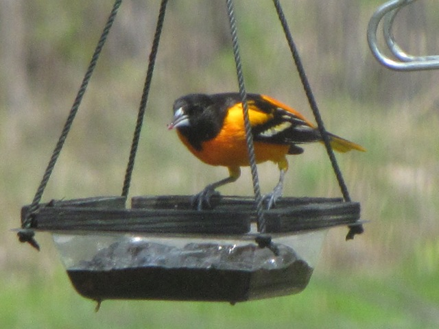 The First Oriole of 2009 & Better Towhee Pictures!