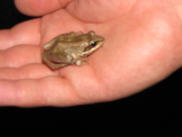Rescued a Wood Frog