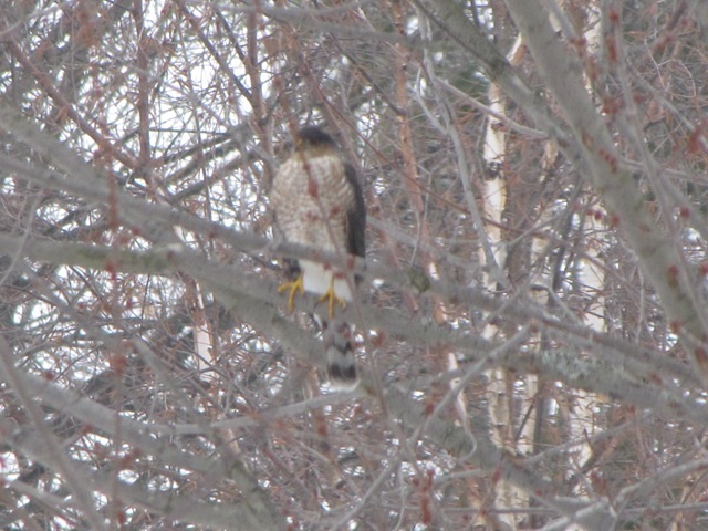 My First Hawk Picture