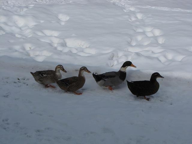 A storm of ducks