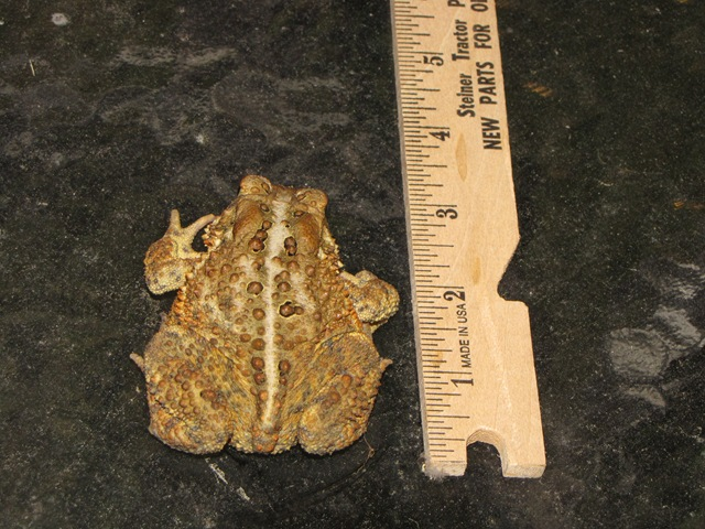 American Toad Photos