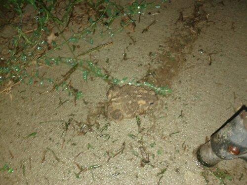 Toads survive drought