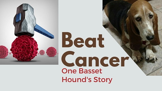A story of a basset hound that fought cancer & won!
