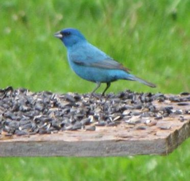 The First Indigo Bunting I've EVER Seen!