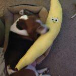 Duke with stuffed banana