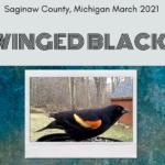 Red Winged Blackbird Species Video Opener