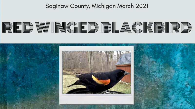 Red Winged Blackbird Compilation