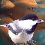 Chickadee digital artwork