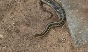 Snake After Meal