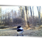 Chickadee header