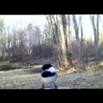Chickadee header