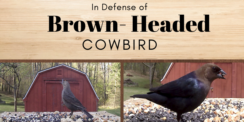 In Defense of the Brown Headed Cowbird