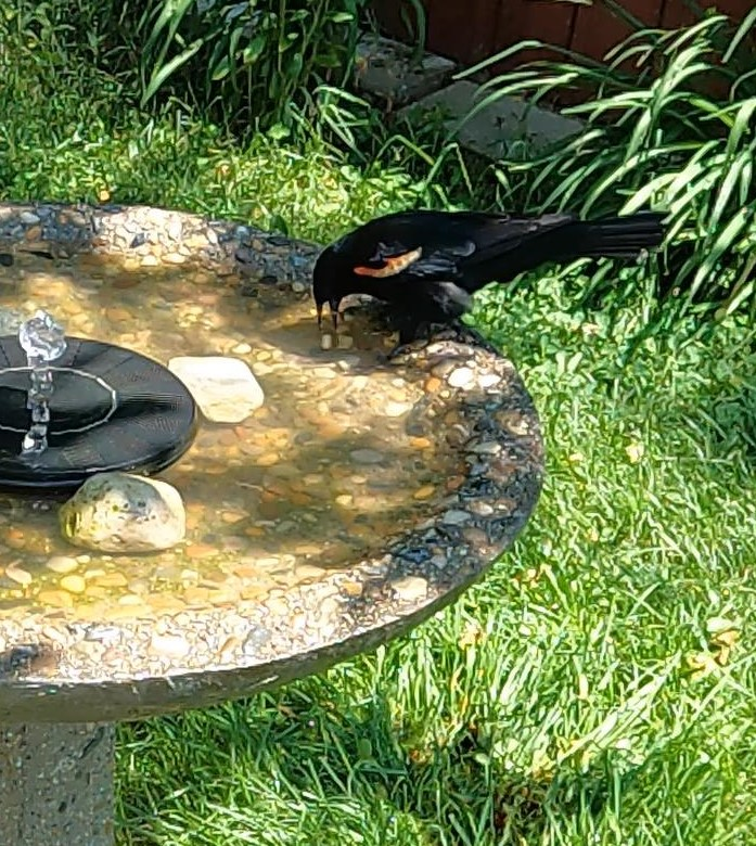 Red Winged Blackbird washes a peanut!
