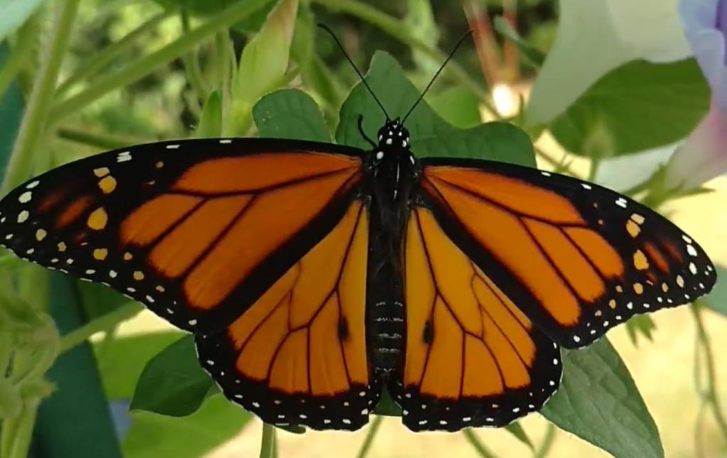 A Monarch Story
